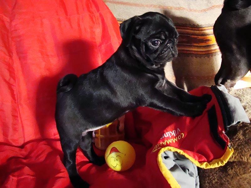 черный мопс щенок фото